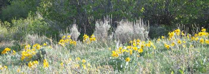 Yellow Wildflowers in Sage Brush